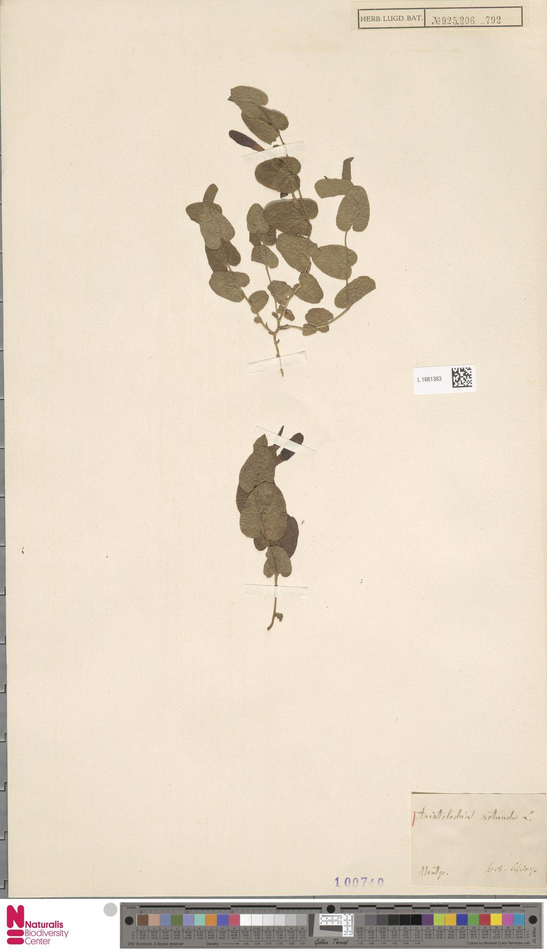 L.1661363 | Aristolochia rotunda L.
