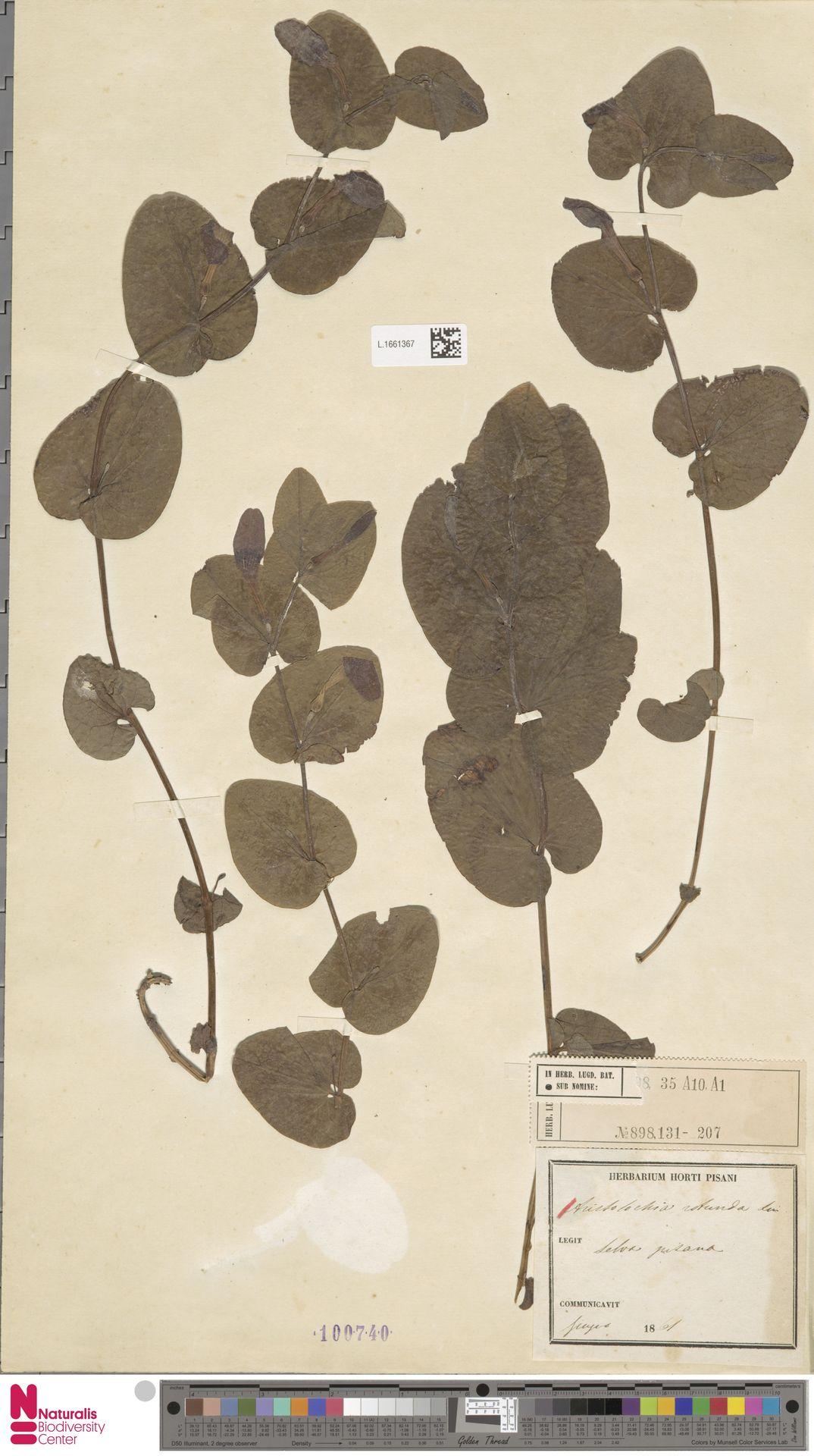 L.1661367   Aristolochia rotunda L.