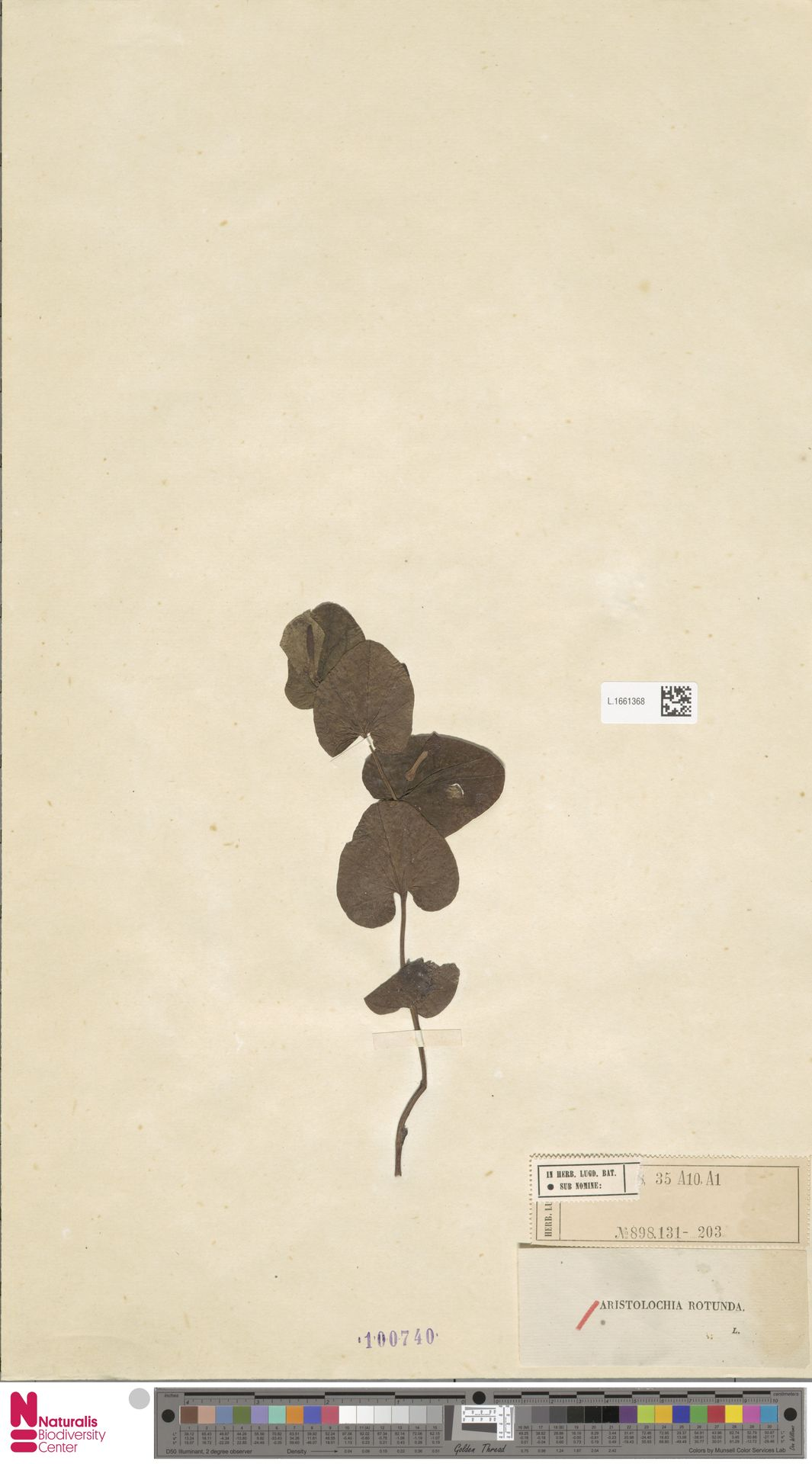 L.1661368 | Aristolochia rotunda L.