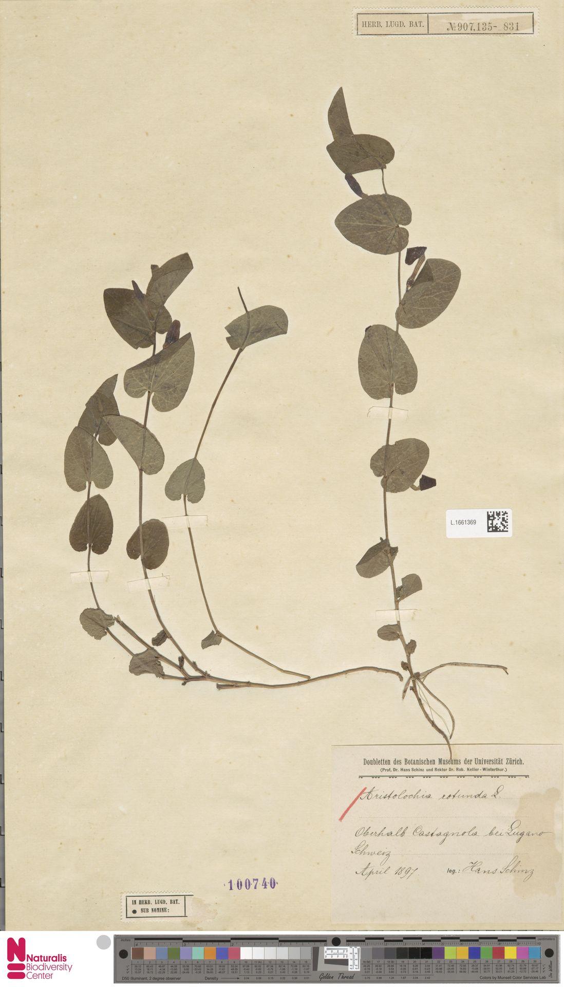 L.1661369 | Aristolochia rotunda L.