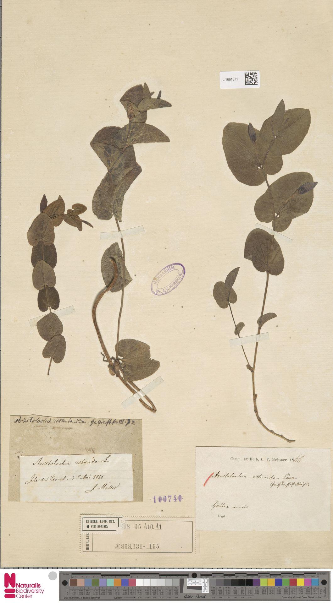 L.1661371 | Aristolochia rotunda L.