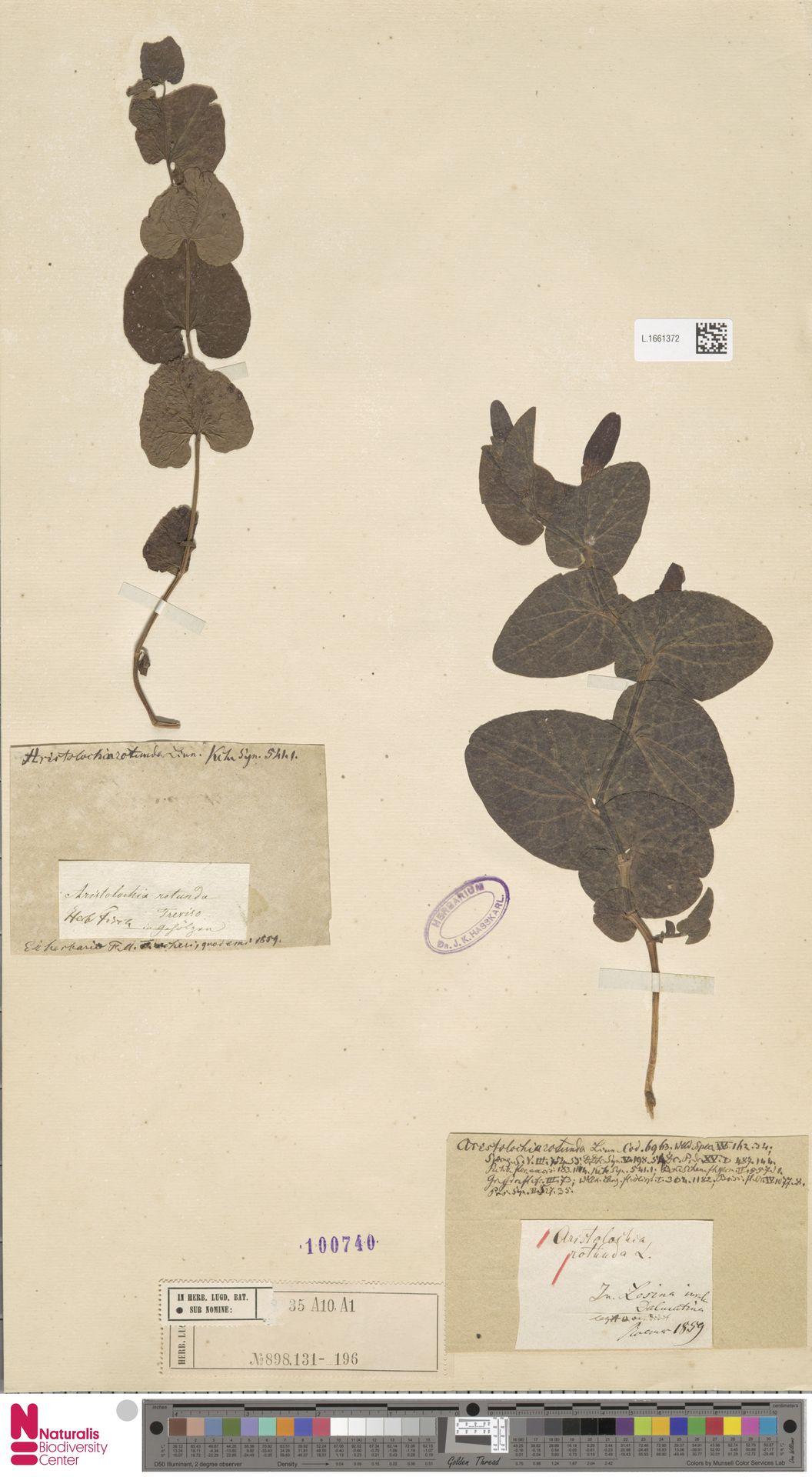 L.1661372 | Aristolochia rotunda L.