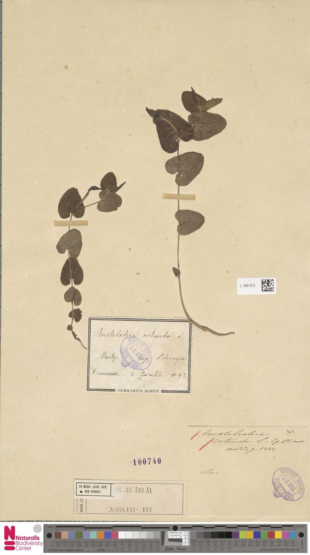 L.1661373 | Aristolochia rotunda L.