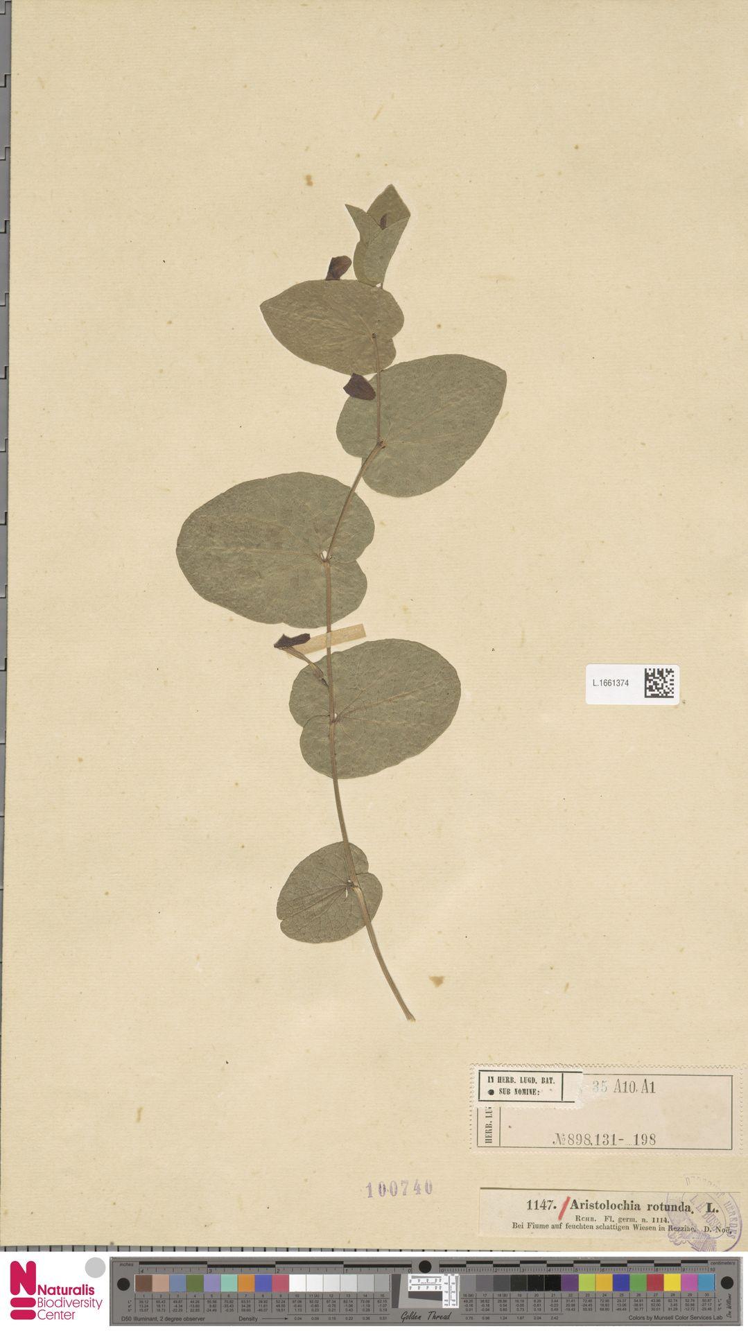L.1661374 | Aristolochia rotunda L.