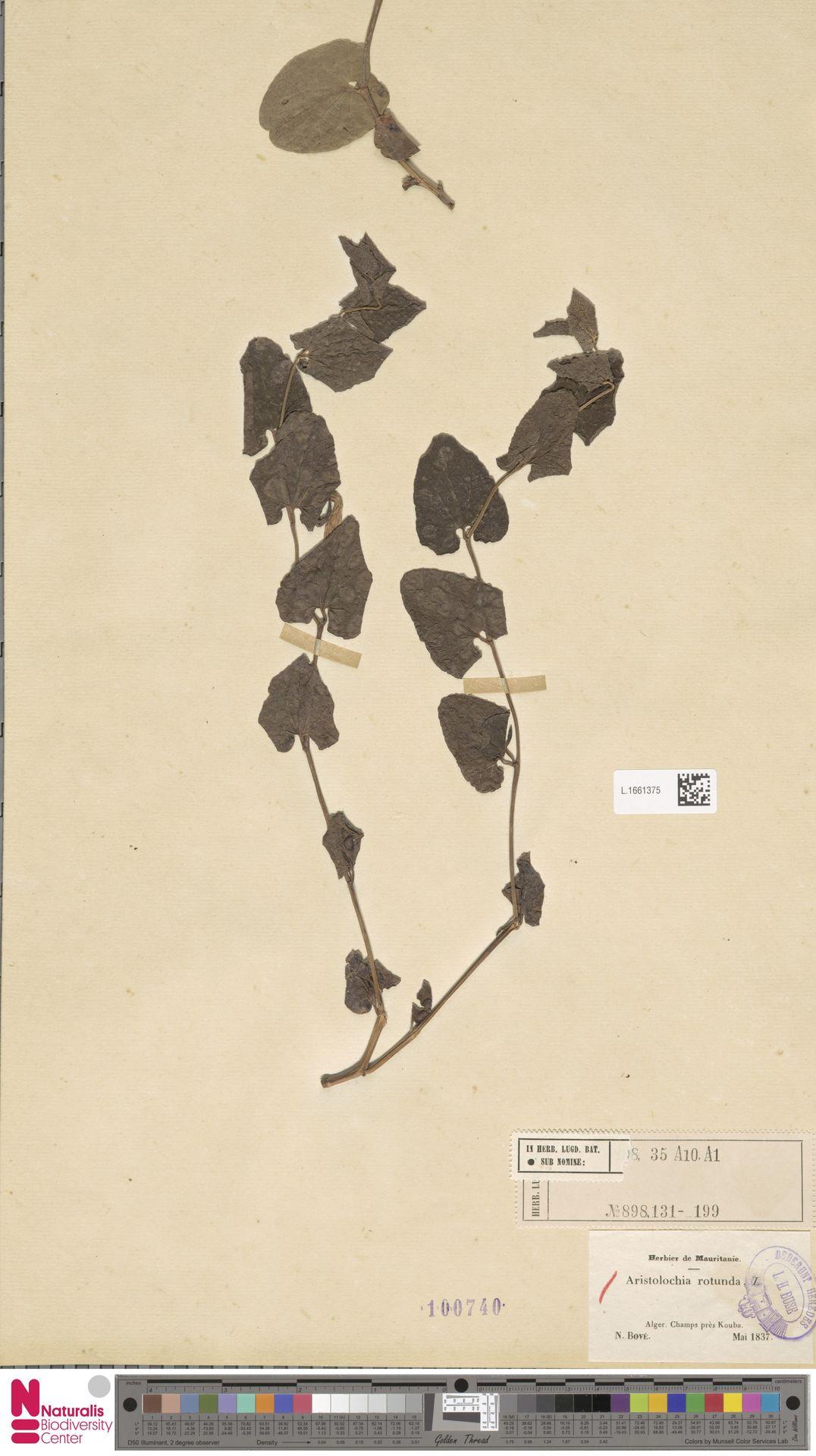 L.1661375 | Aristolochia rotunda L.
