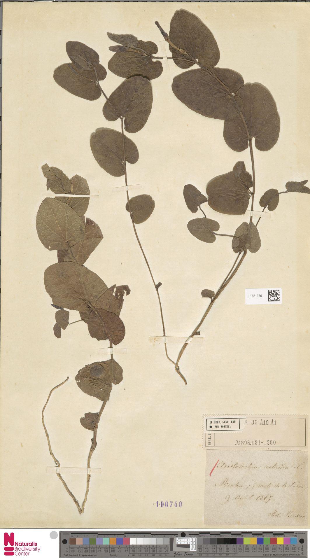 L.1661376 | Aristolochia rotunda L.