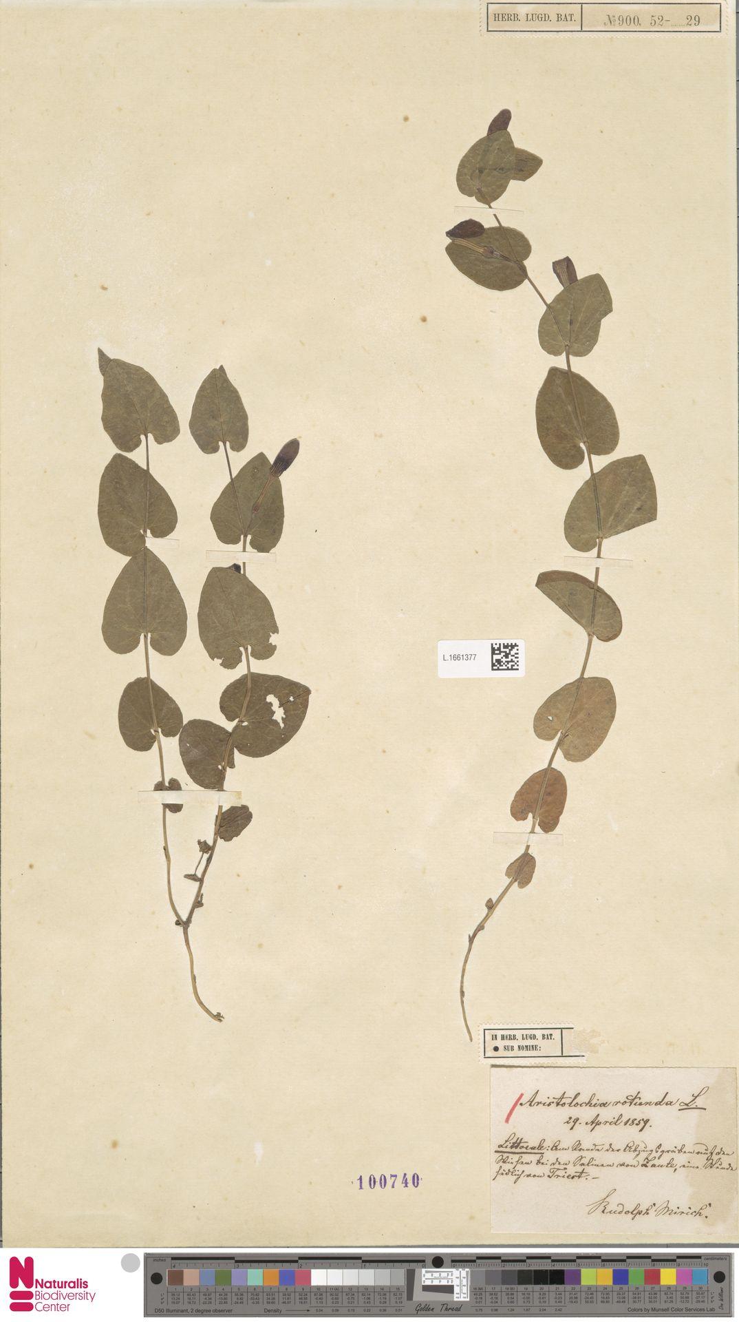 L.1661377   Aristolochia rotunda L.