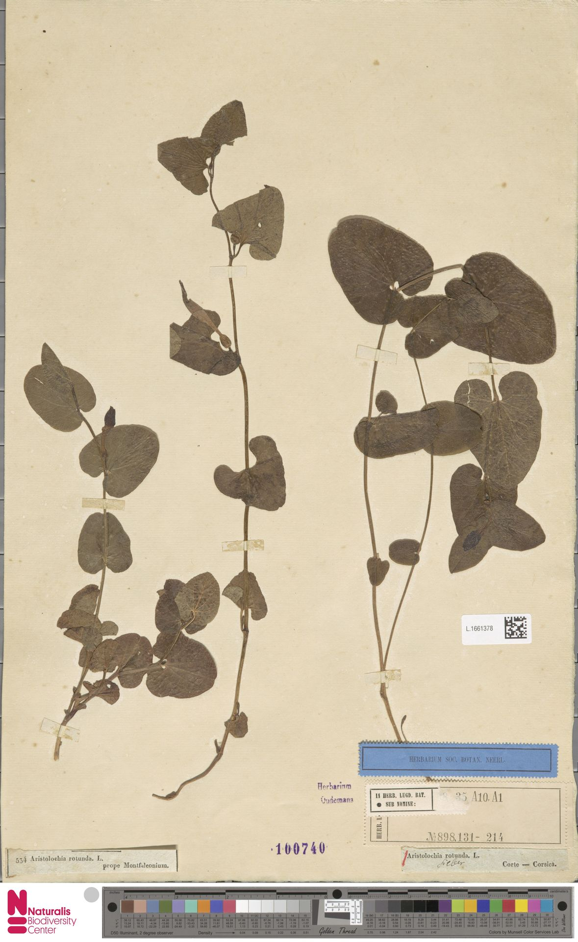 L.1661378 | Aristolochia rotunda L.