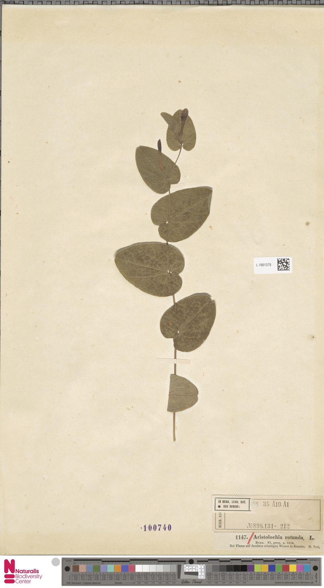 L.1661379 | Aristolochia rotunda L.