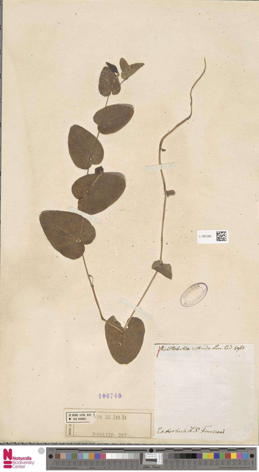 L.1661380 | Aristolochia rotunda L.