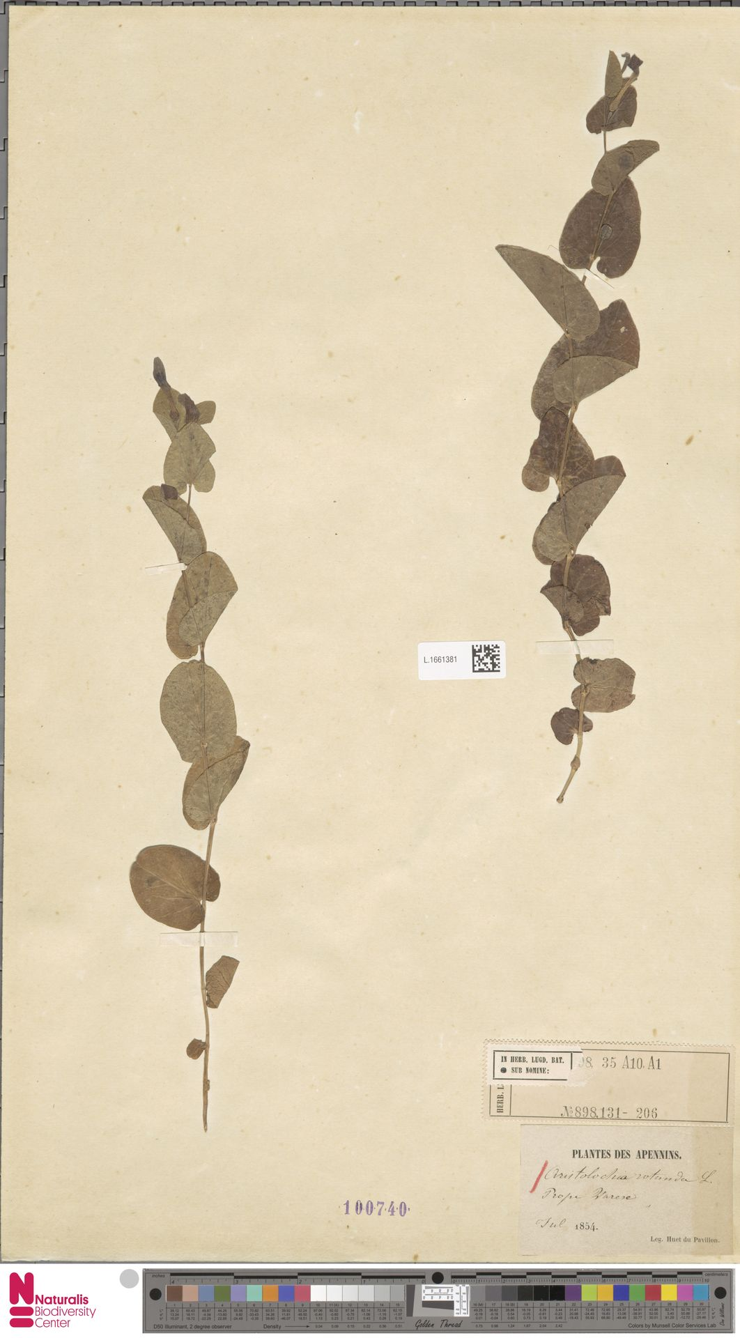 L.1661381 | Aristolochia rotunda L.