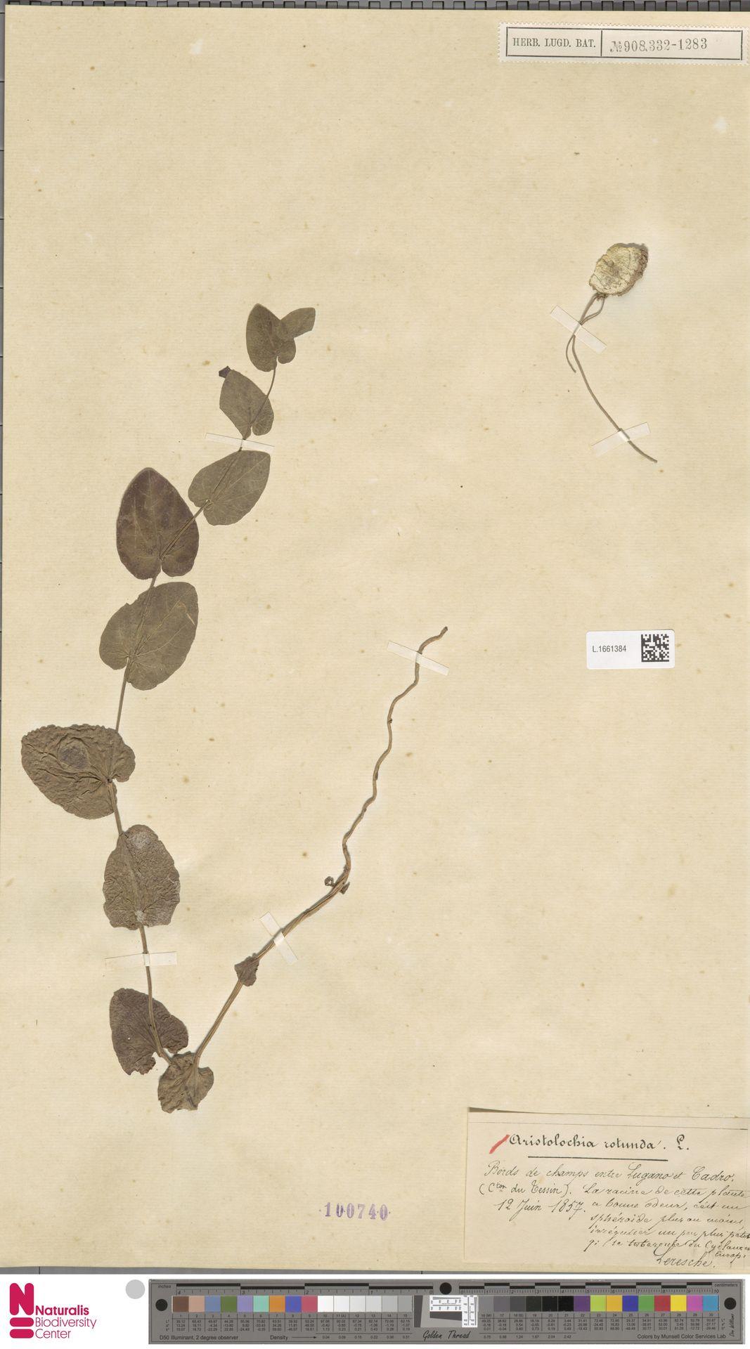 L.1661384   Aristolochia rotunda L.
