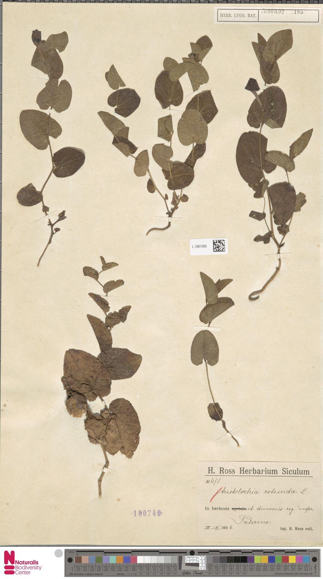 L.1661385 | Aristolochia rotunda L.