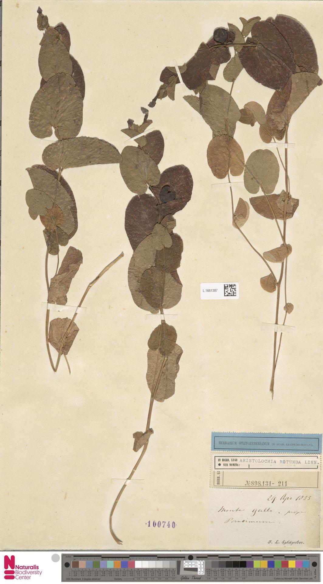 L.1661387 | Aristolochia rotunda L.