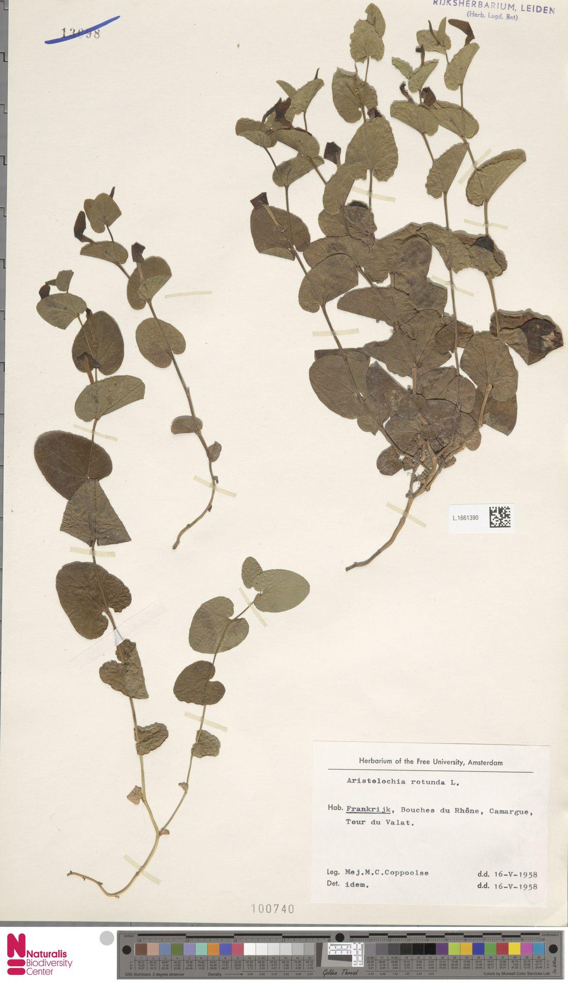 L.1661390 | Aristolochia rotunda L.