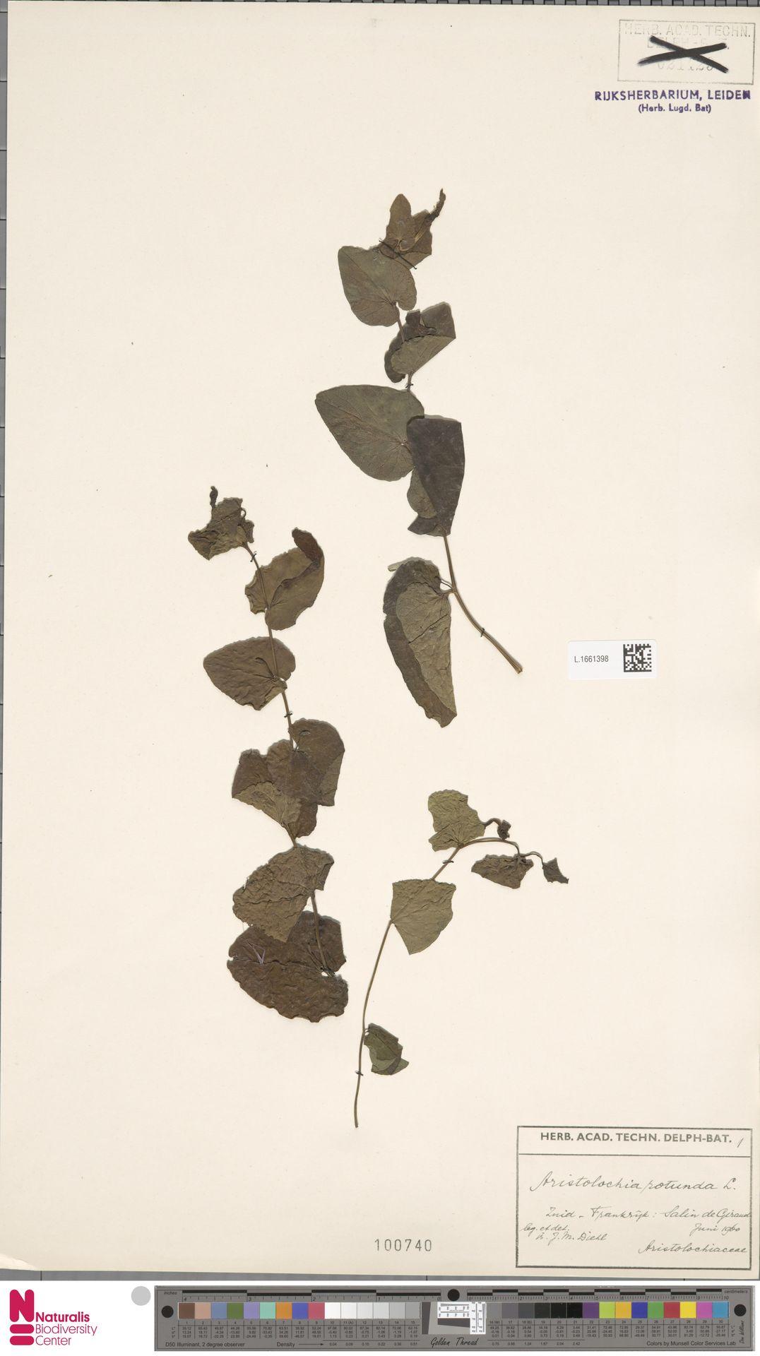 L.1661398 | Aristolochia rotunda L.