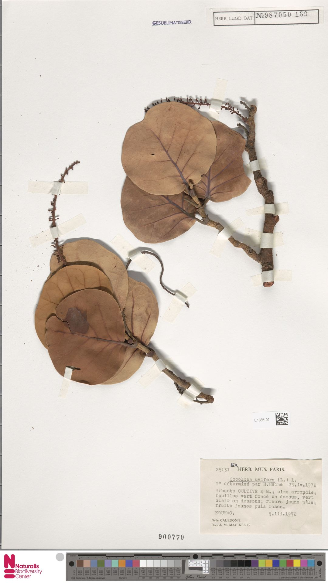 L.1662109 | Coccoloba uvifera (L.) L.
