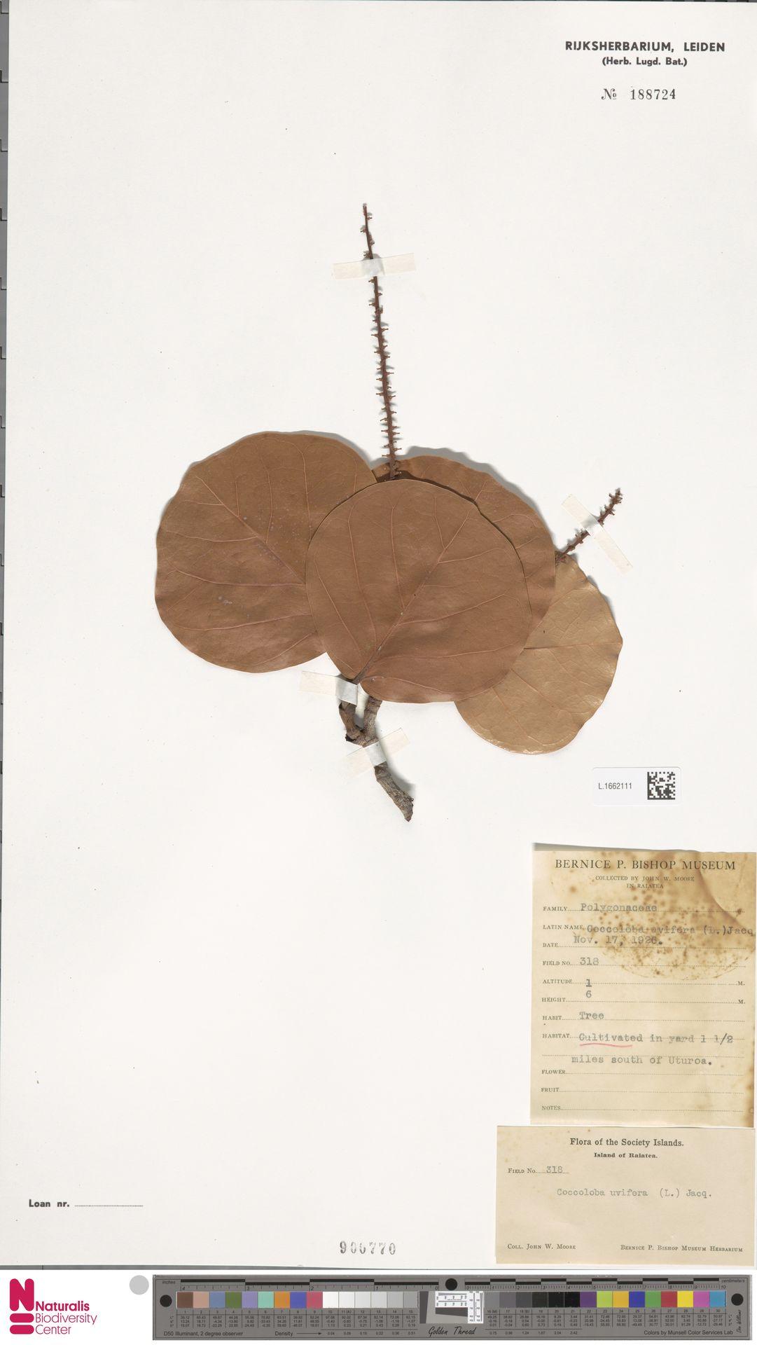L.1662111 | Coccoloba uvifera (L.) L.