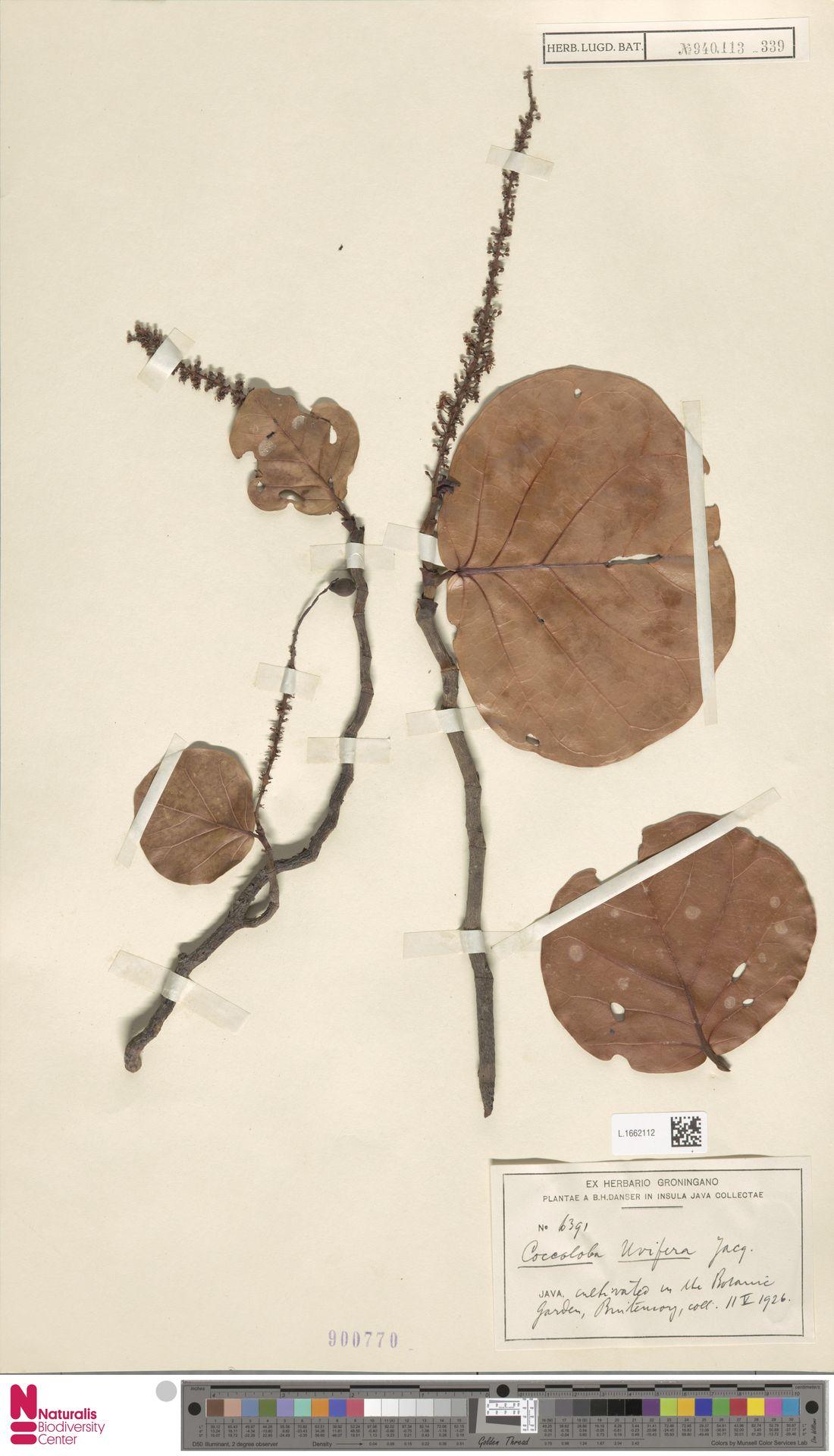 L.1662112 | Coccoloba uvifera (L.) L.