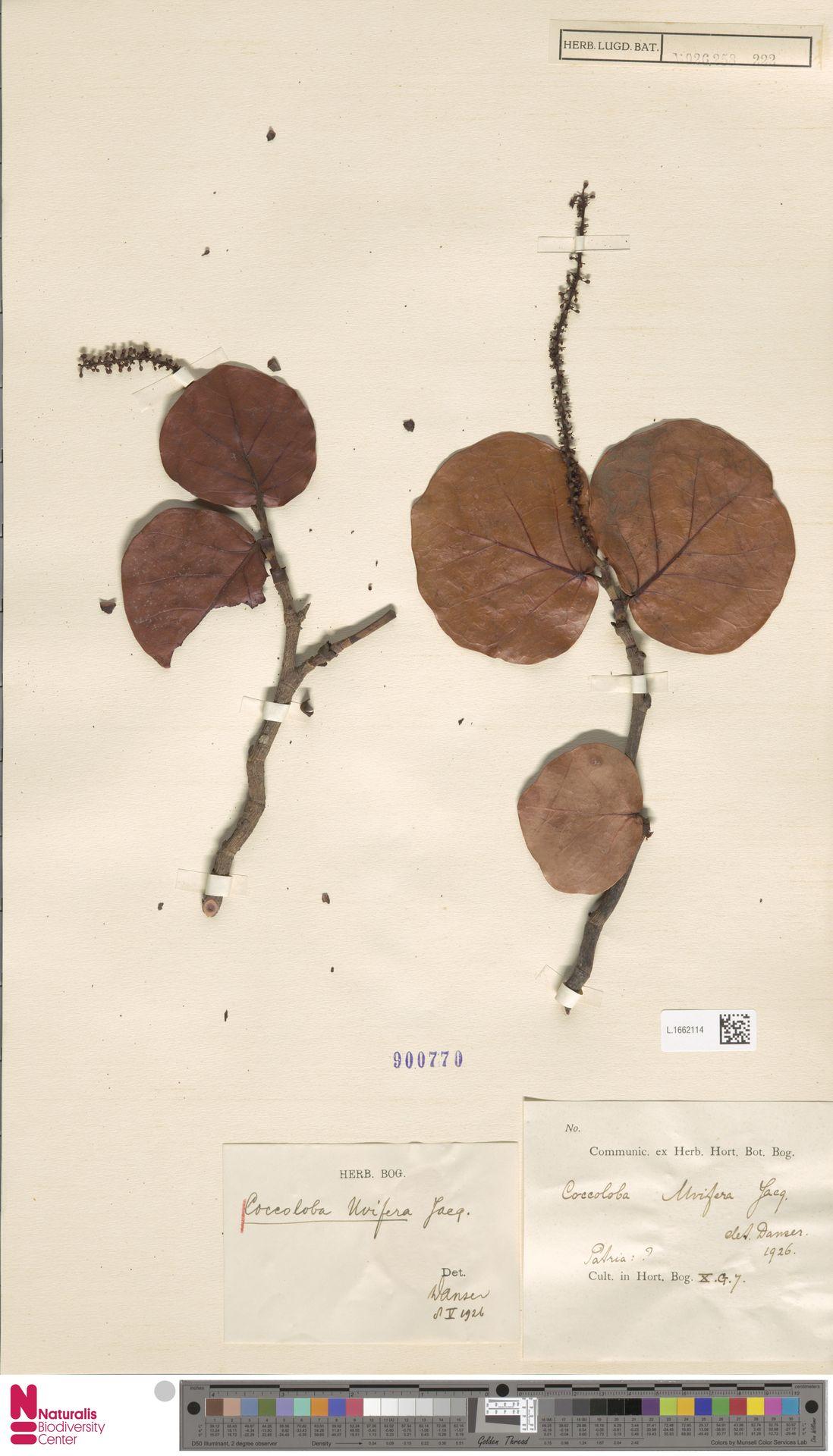 L.1662114 | Coccoloba uvifera (L.) L.
