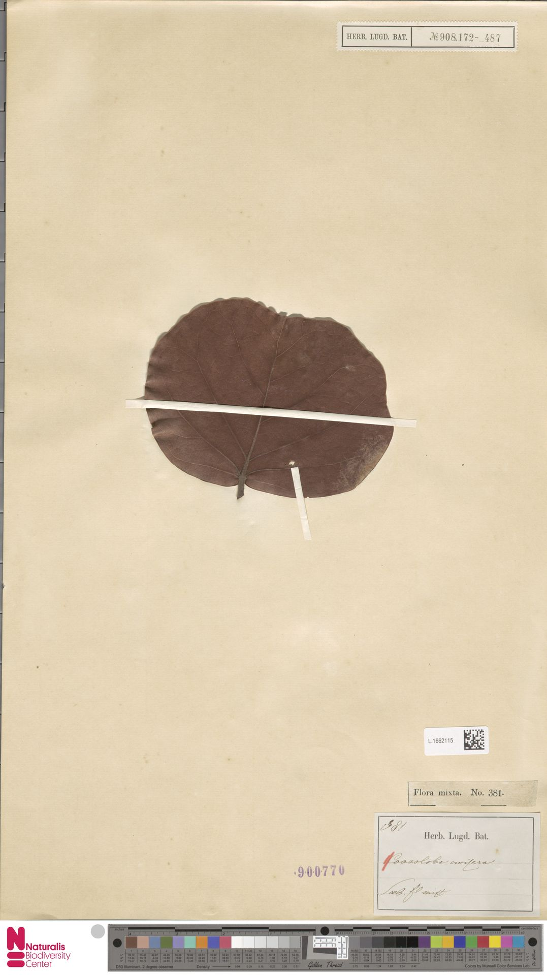 L.1662115 | Coccoloba uvifera (L.) L.