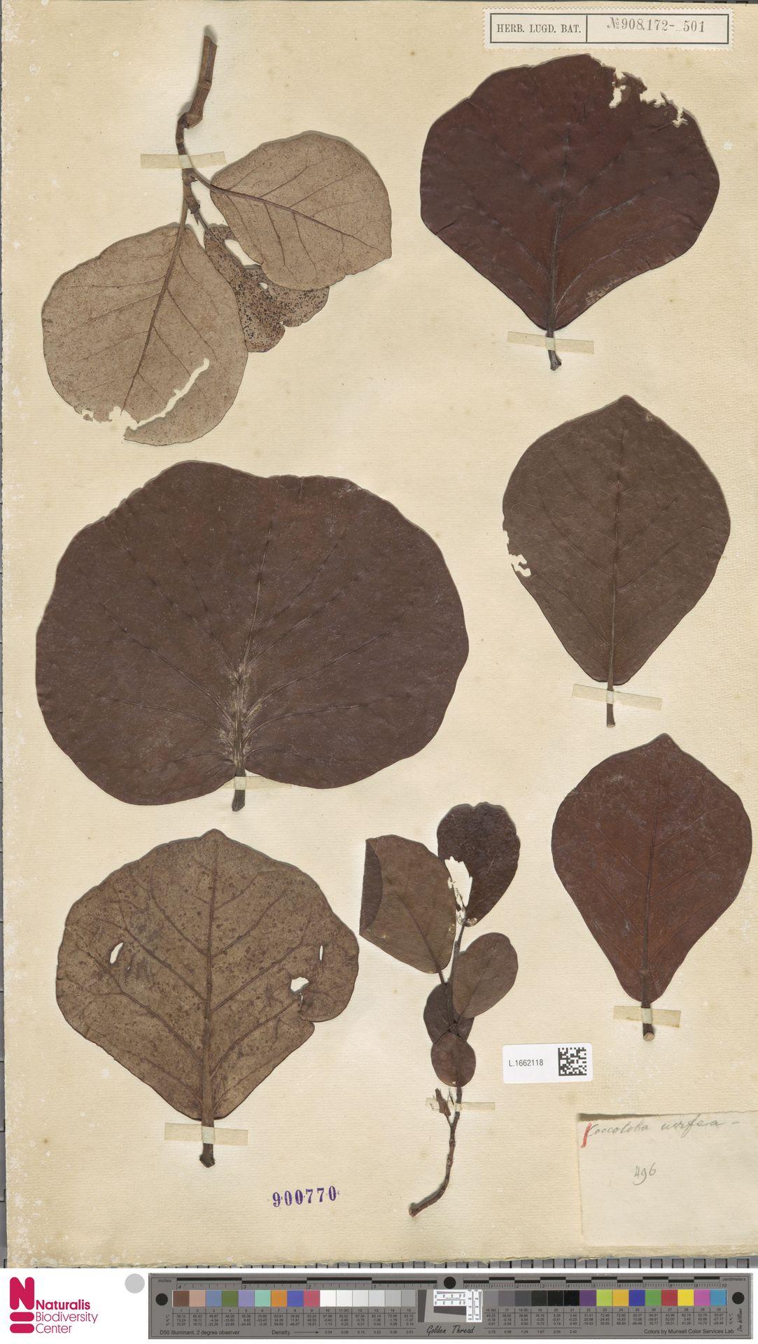 L.1662118 | Coccoloba uvifera (L.) L.