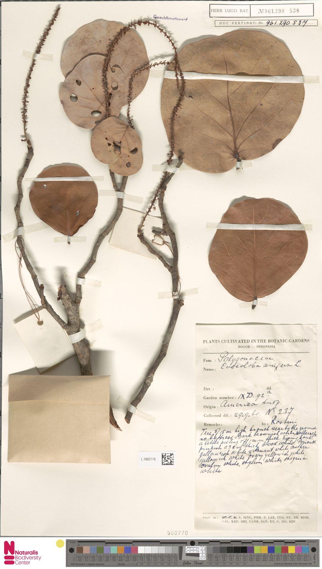 L.1662119   Coccoloba uvifera (L.) L.
