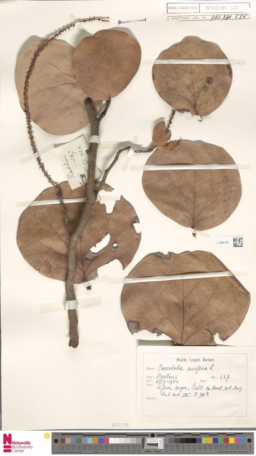 L.1662120 | Coccoloba uvifera (L.) L.