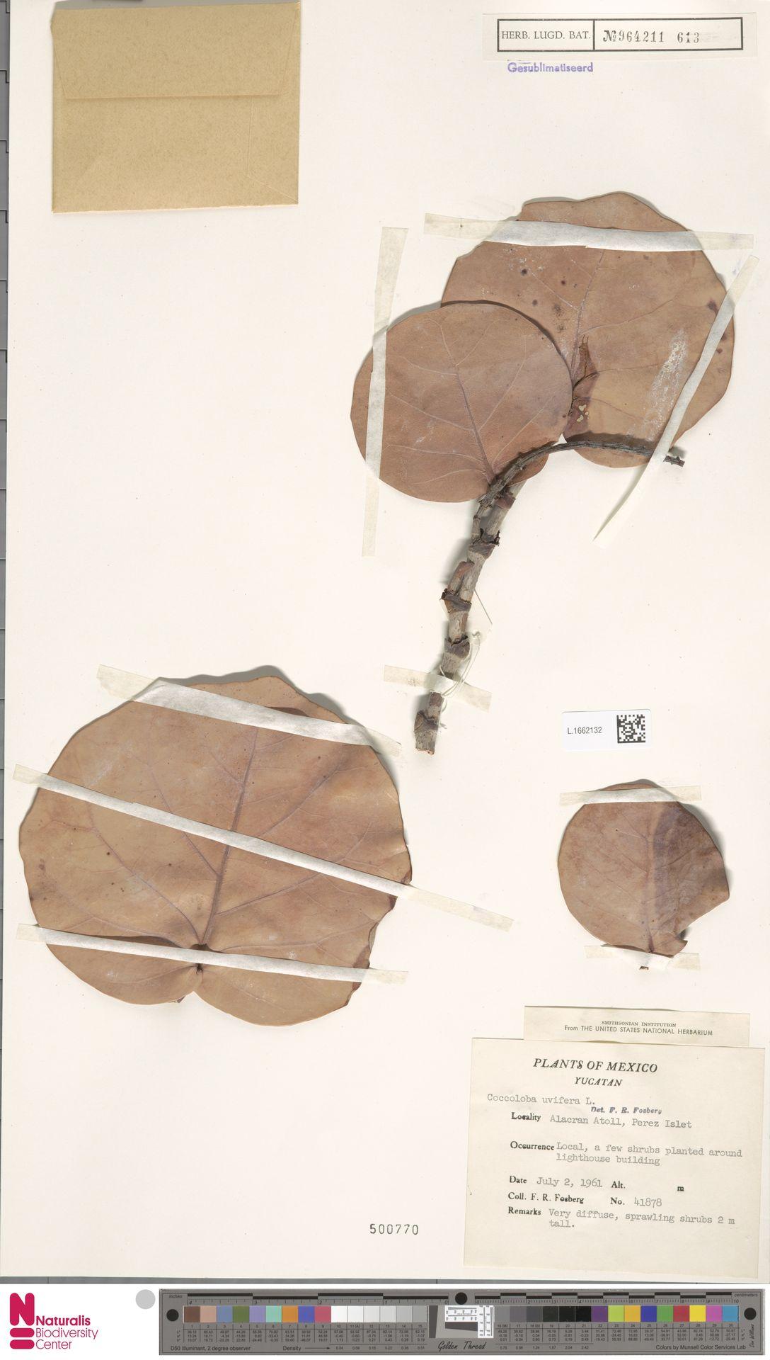 L.1662132 | Coccoloba uvifera (L.) L.