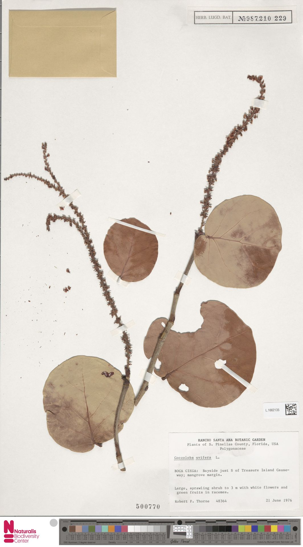 L.1662135 | Coccoloba uvifera (L.) L.