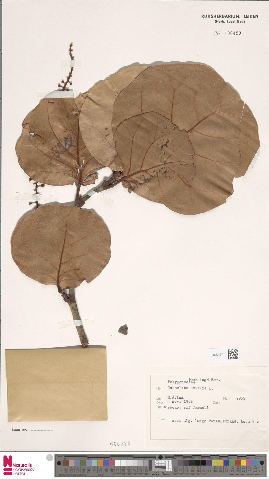 L.1662137 | Coccoloba uvifera (L.) L.
