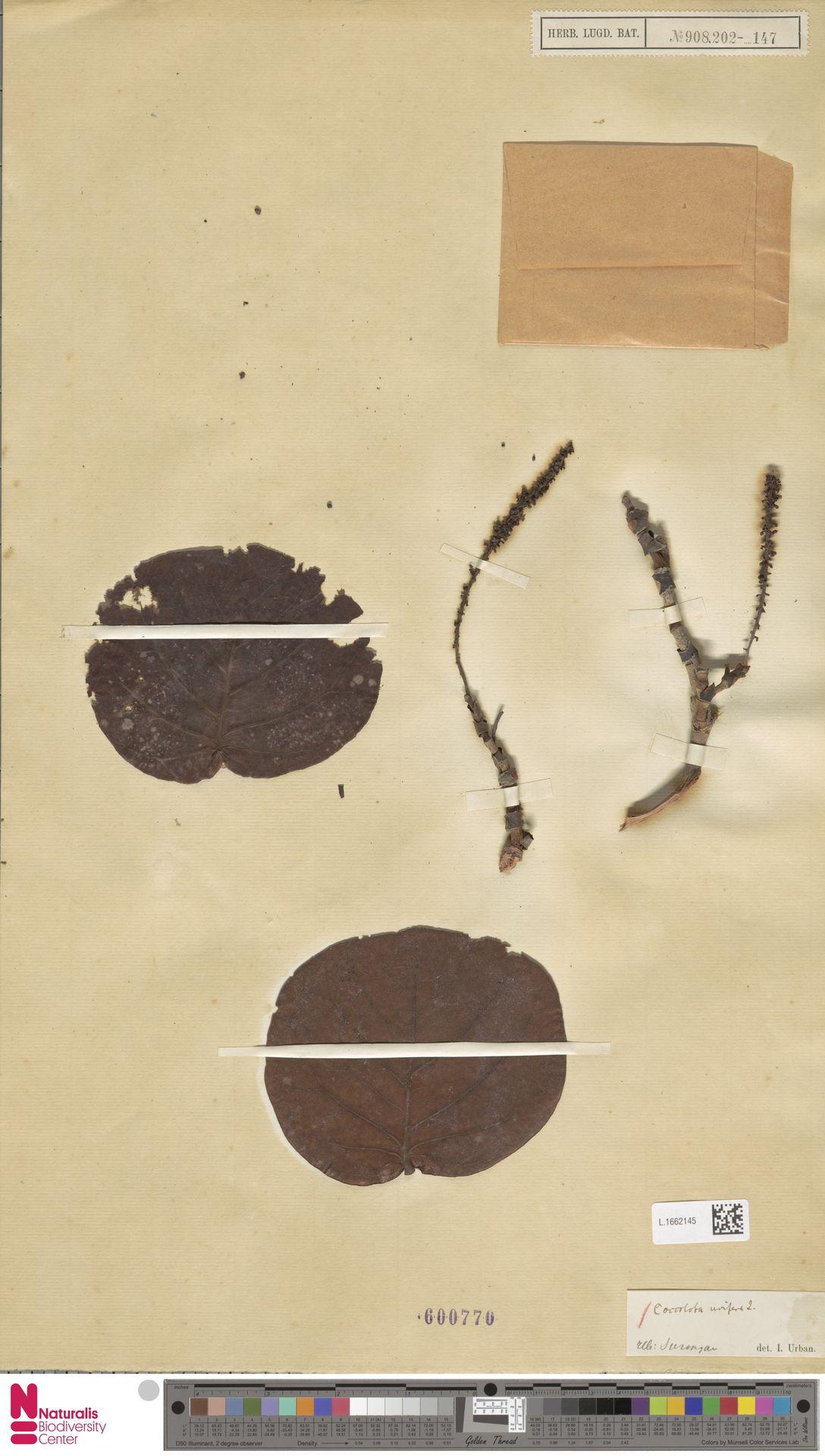 L.1662145 | Coccoloba uvifera (L.) L.
