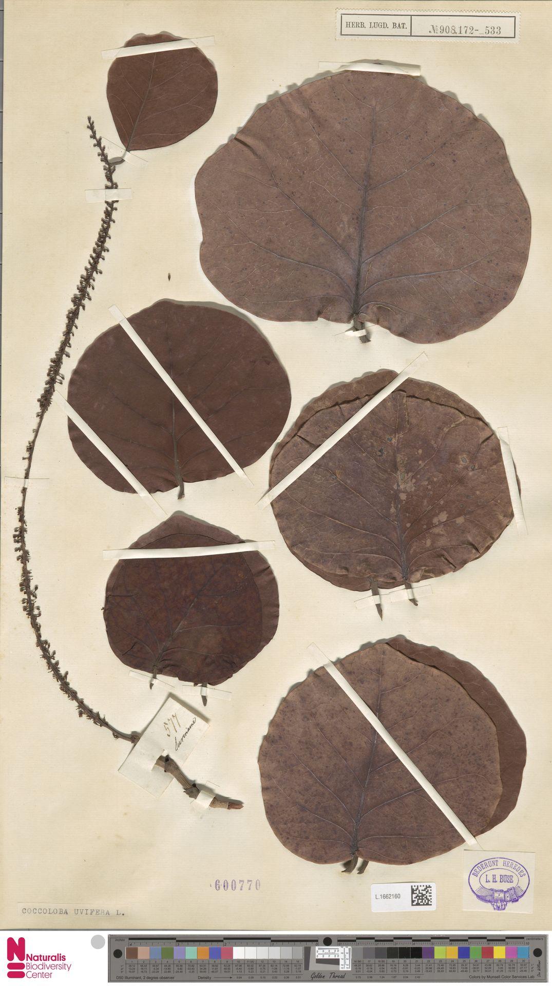 L.1662160 | Coccoloba uvifera (L.) L.