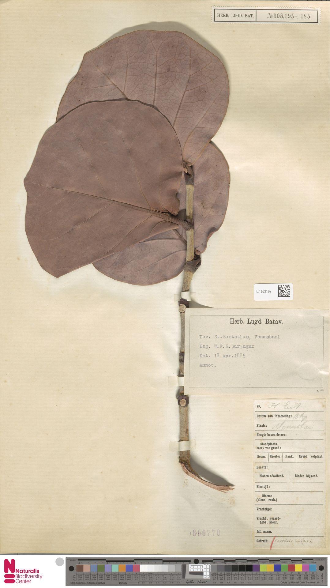 L.1662162   Coccoloba uvifera (L.) L.