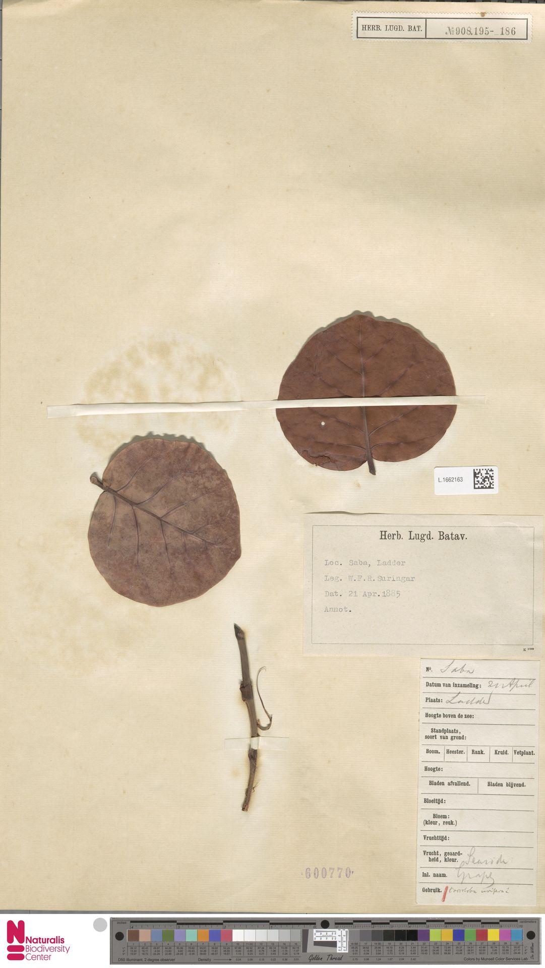 L.1662163   Coccoloba uvifera (L.) L.