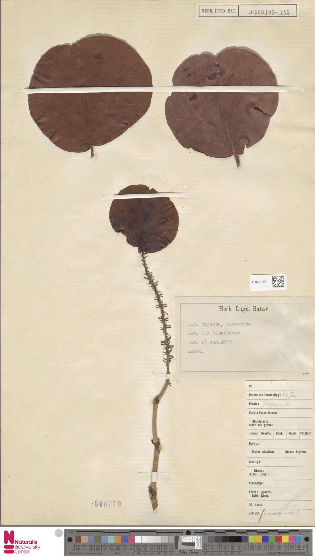 L.1662165 | Coccoloba uvifera (L.) L.