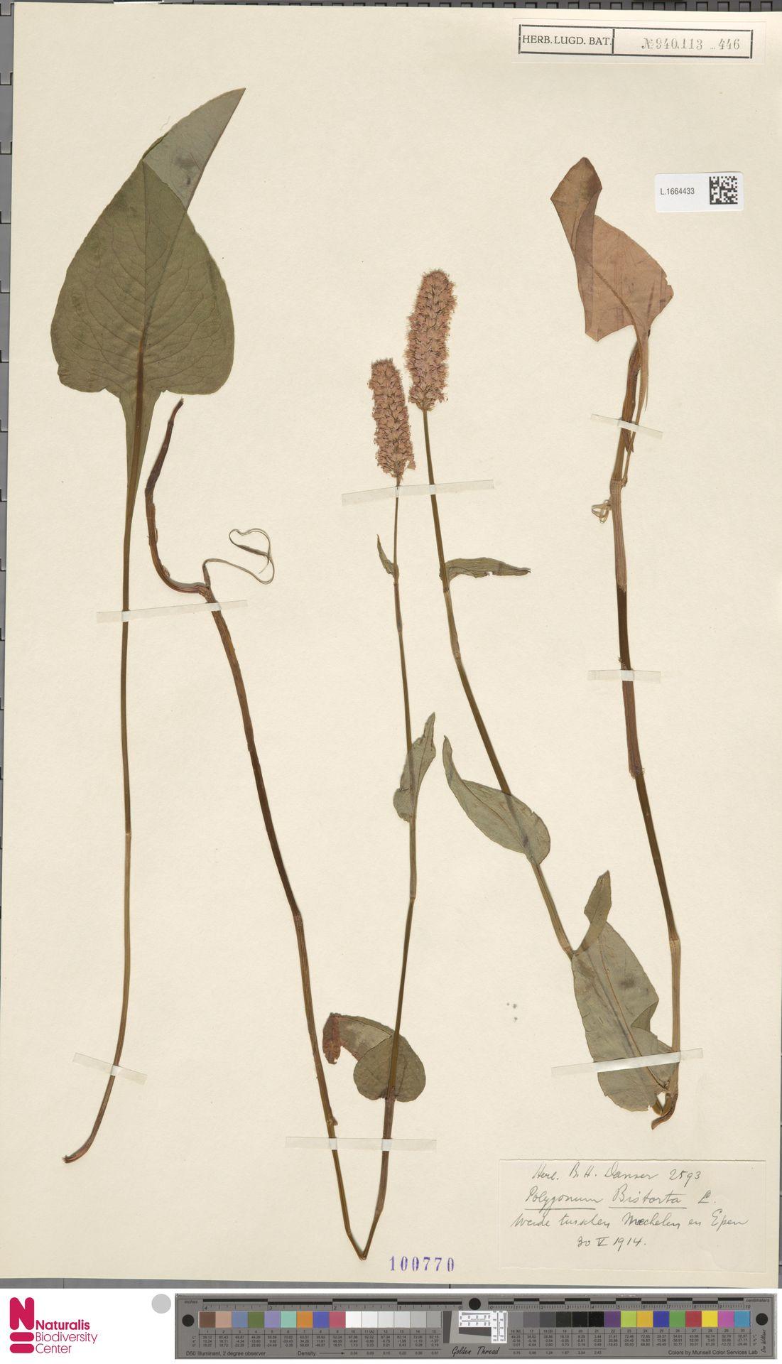 L.1664433 | Persicaria bistorta (L.) Samp.