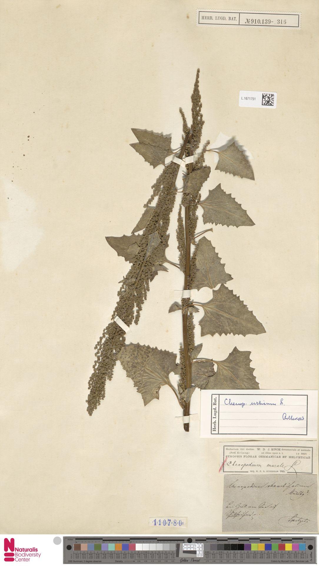 L.1671751 | Chenopodium urbicum L.
