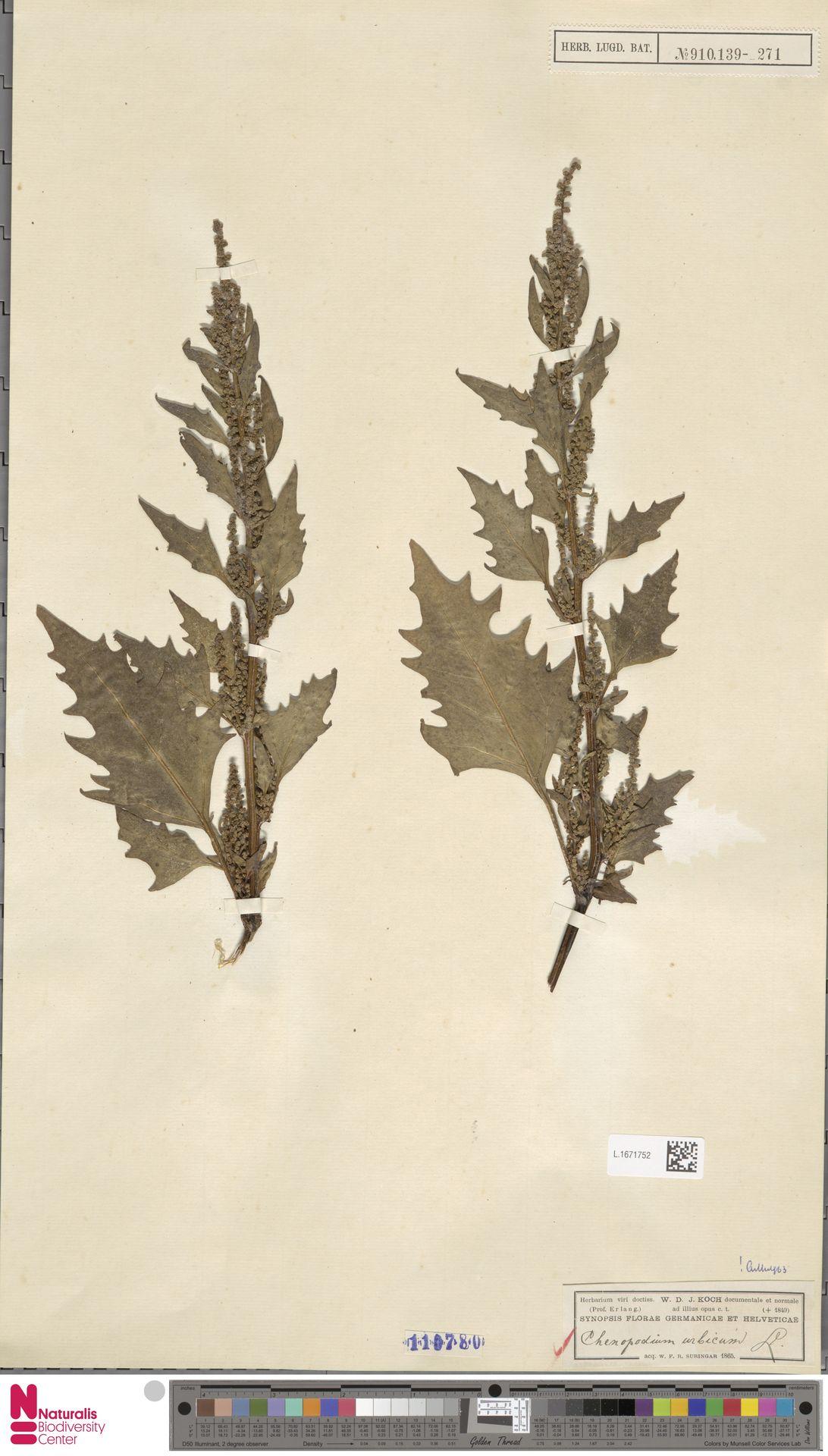 L.1671752 | Chenopodium urbicum L.