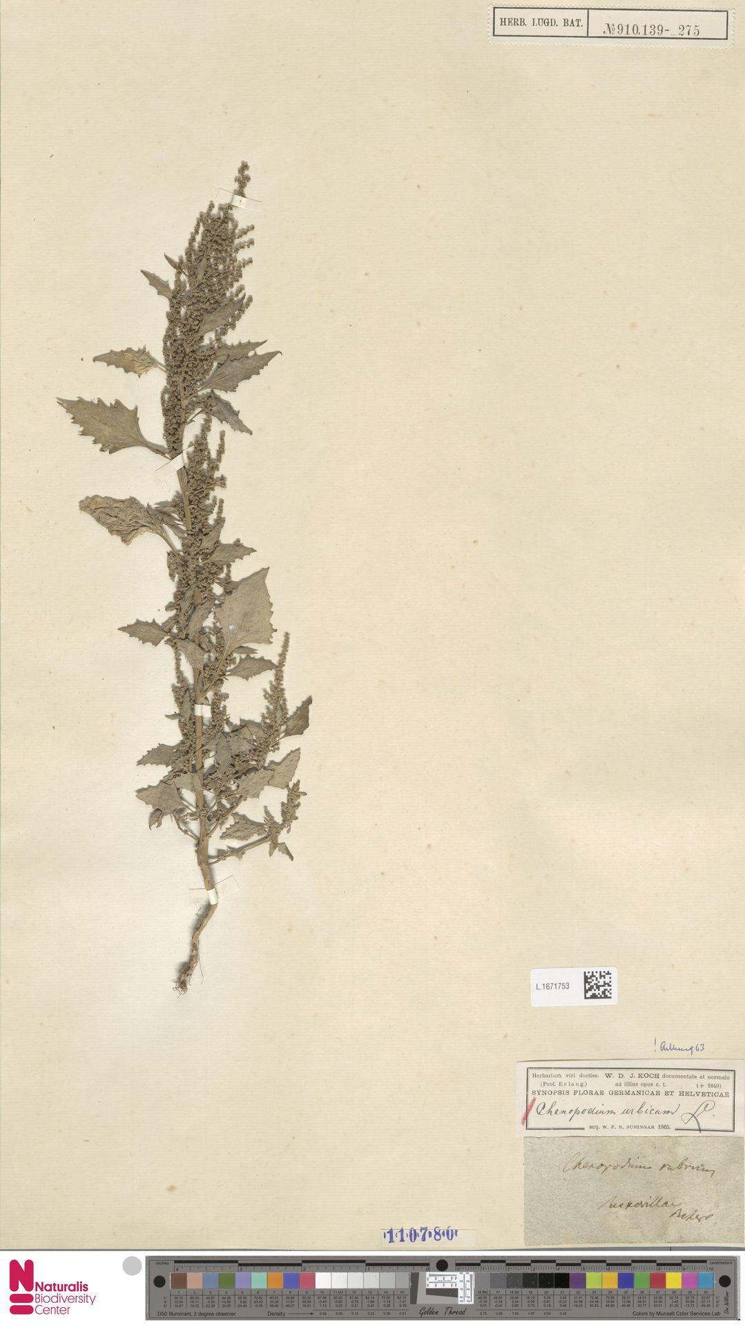 L.1671753 | Chenopodium urbicum L.