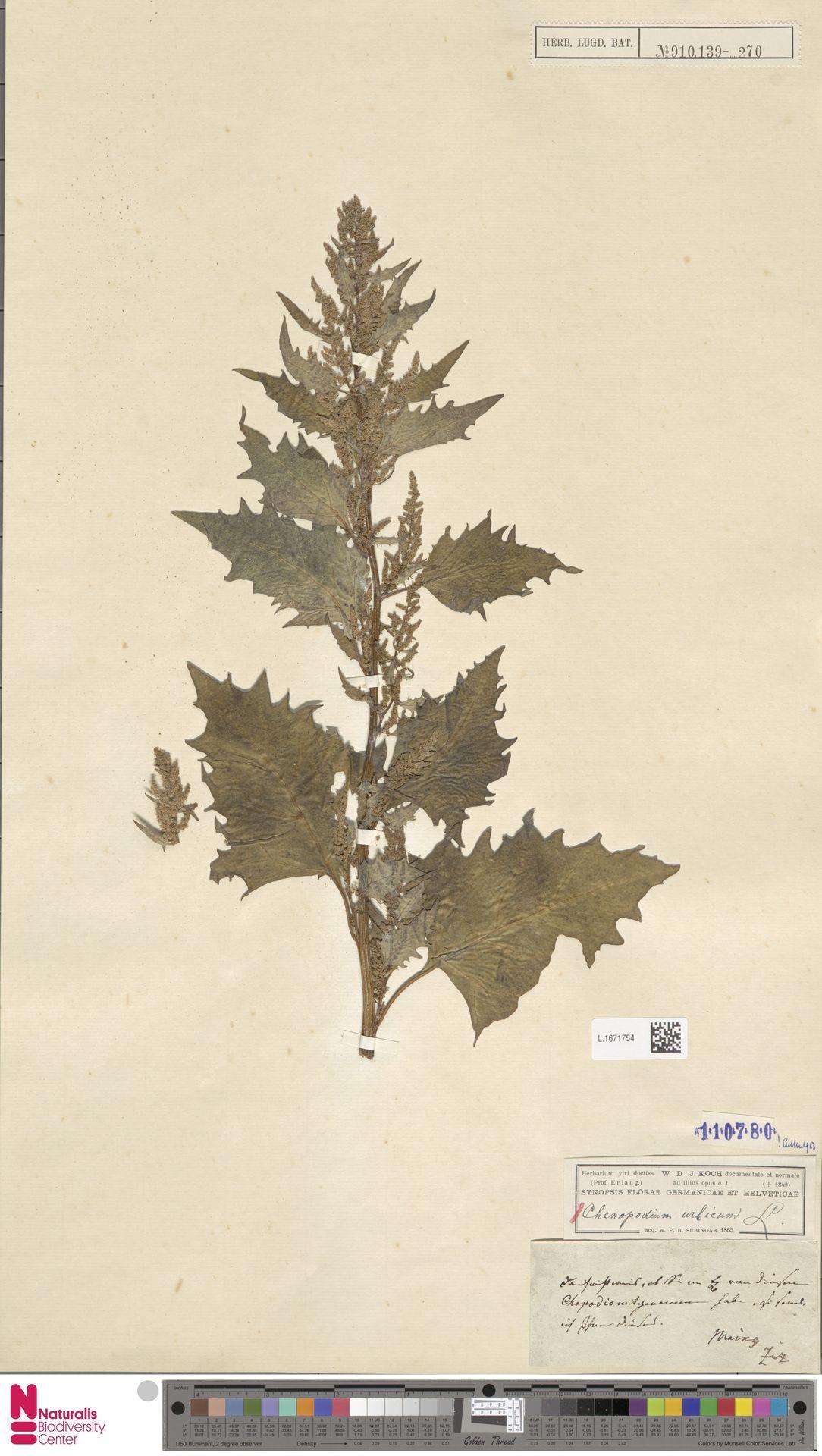 L.1671754 | Chenopodium urbicum L.