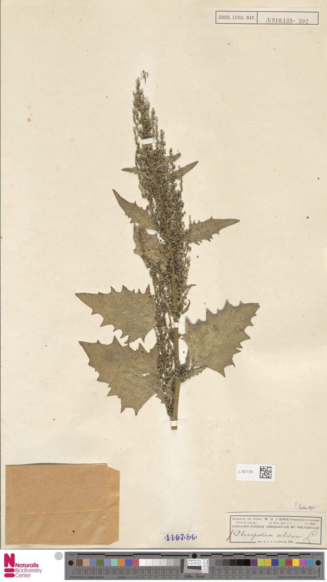 L.1671757 | Chenopodium urbicum L.