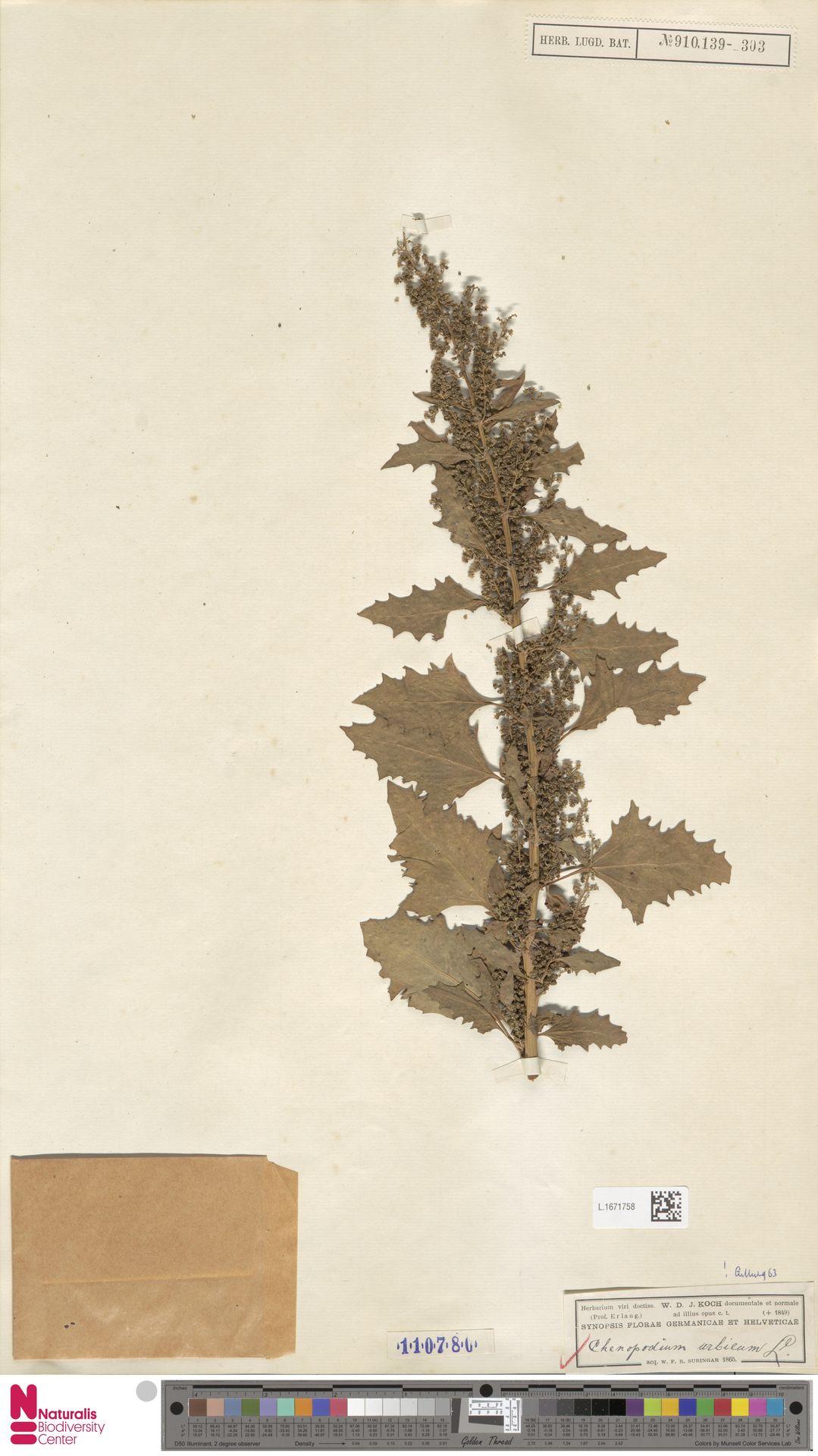 L.1671758 | Chenopodium urbicum L.