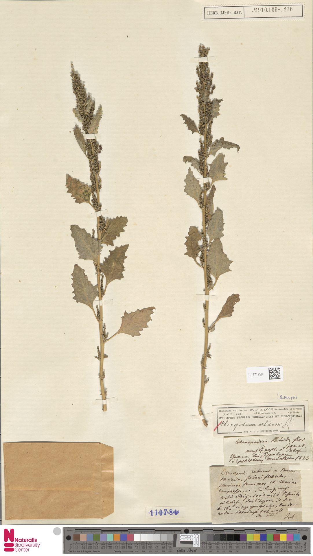 L.1671759 | Chenopodium urbicum L.