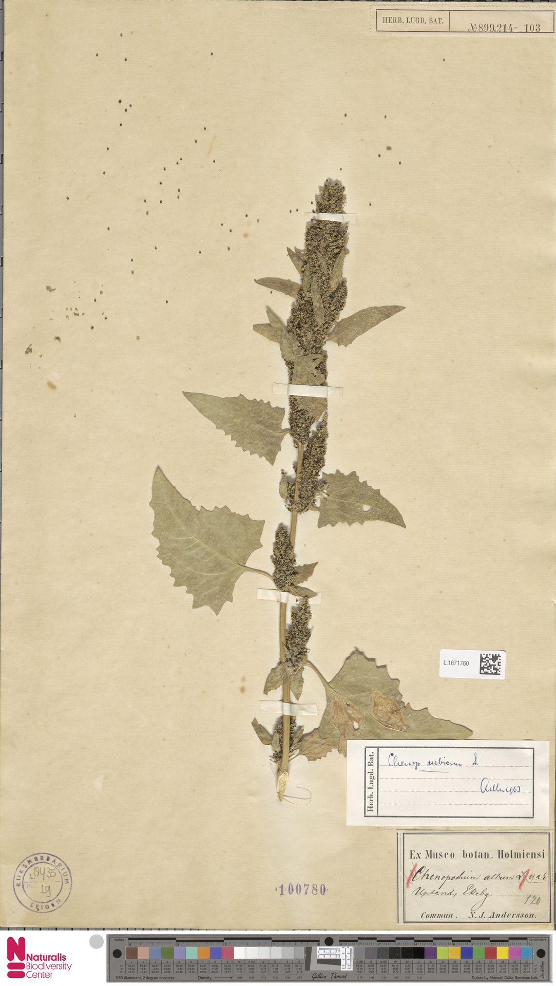 L.1671760 | Chenopodium urbicum L.