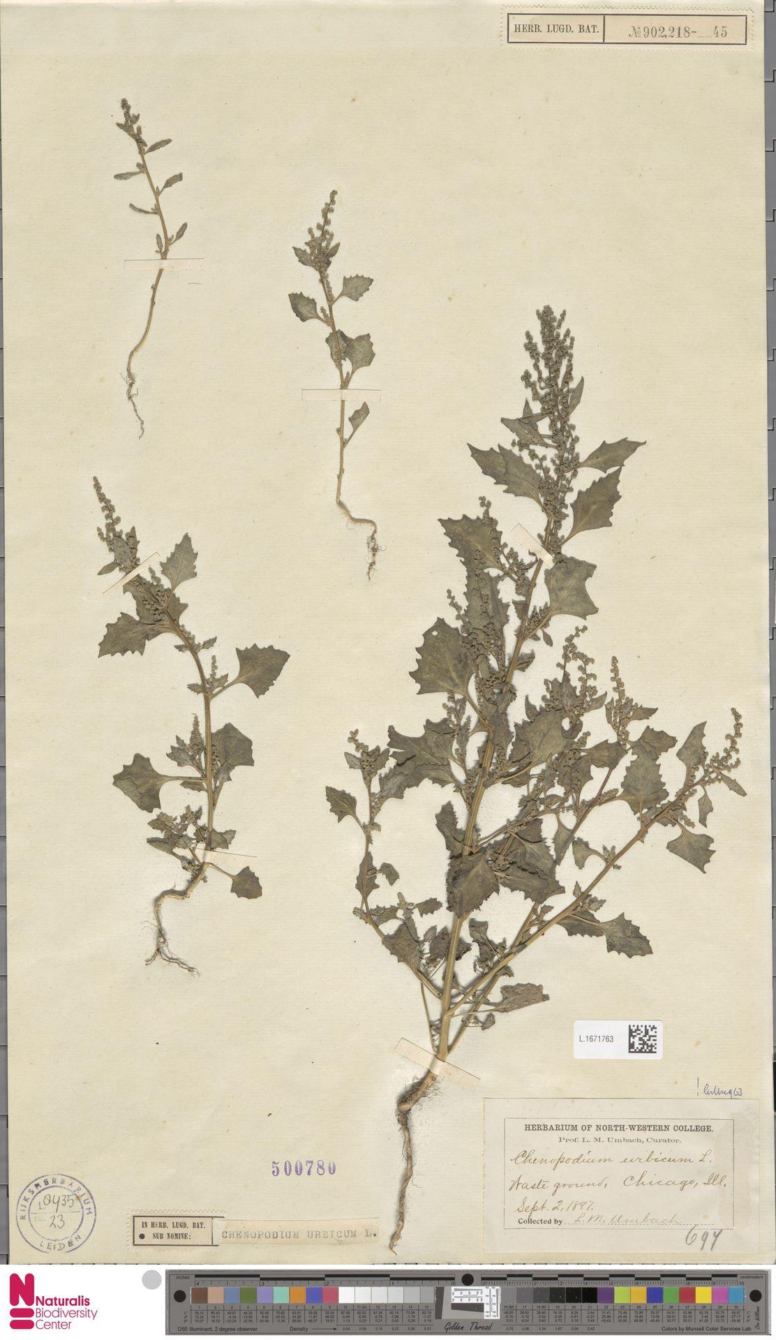 L.1671763 | Chenopodium urbicum L.
