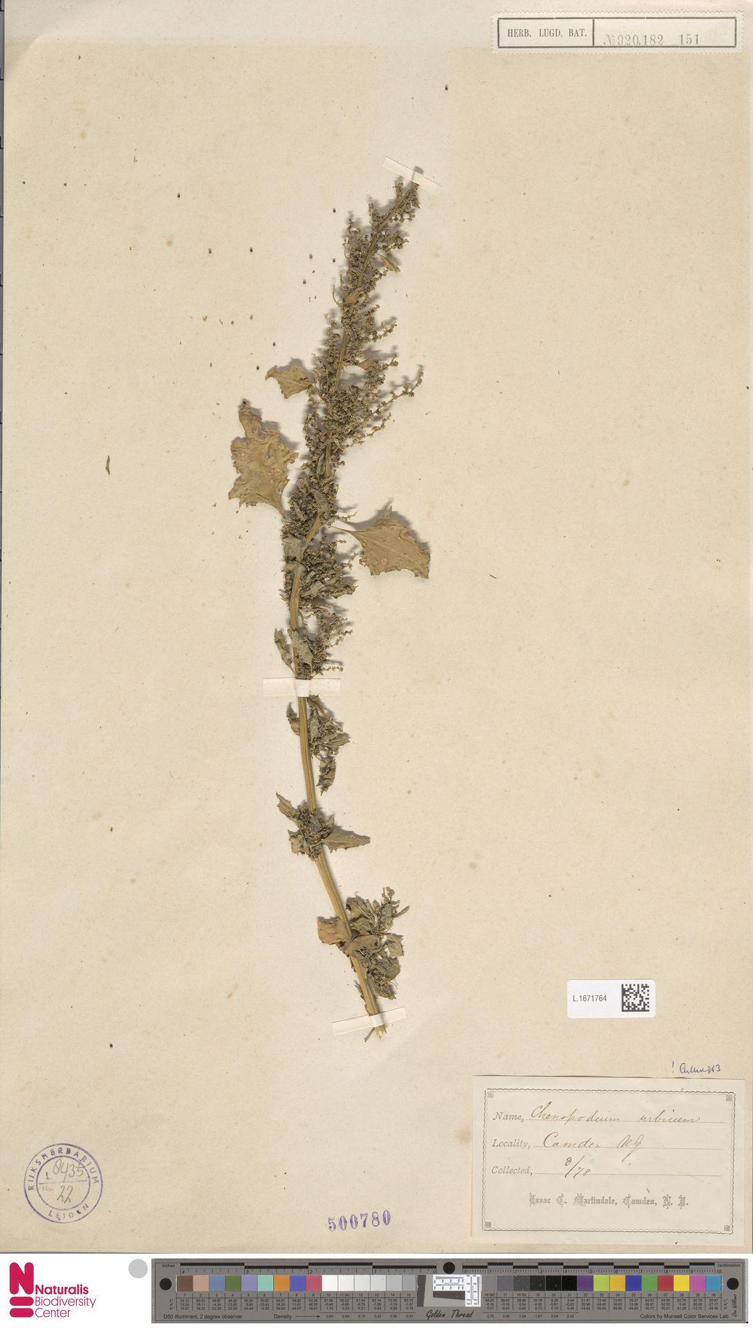 L.1671764 | Chenopodium urbicum L.