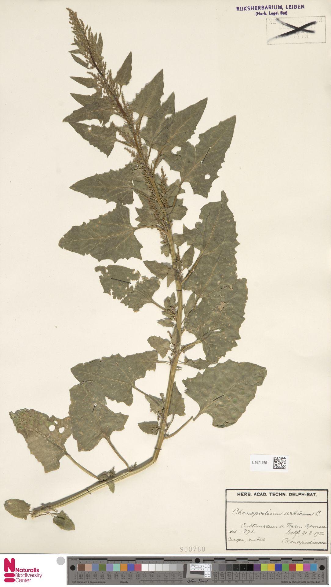 L.1671765 | Chenopodium urbicum L.