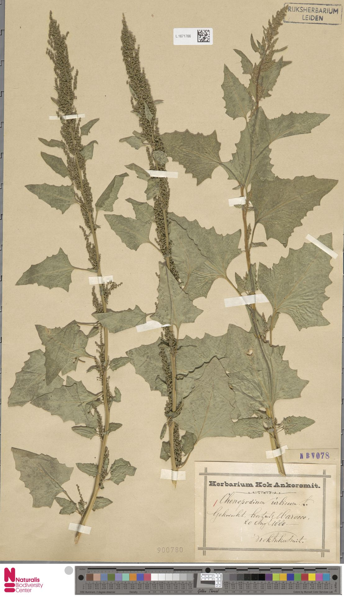 L.1671766 | Chenopodium urbicum L.