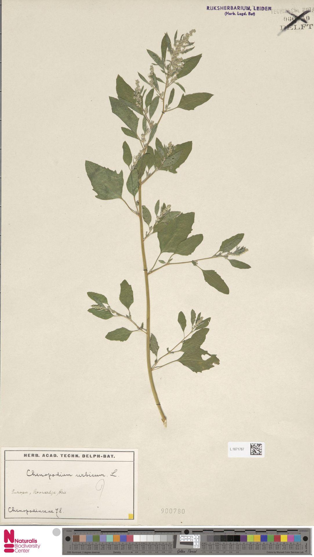 L.1671767 | Chenopodium urbicum L.